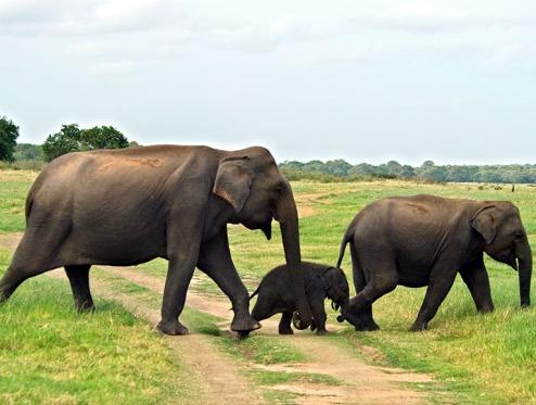 Sri Lanka Asian elephants