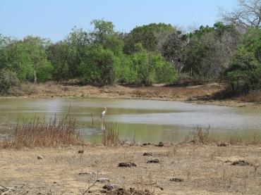 Cegonha caçando no lago.