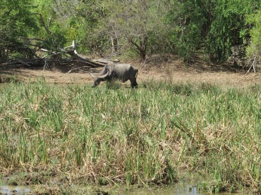 Búfalo pastando no parque.