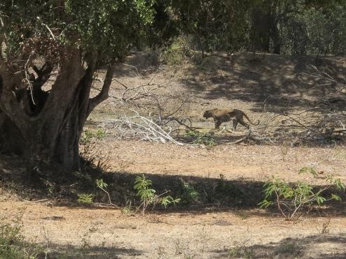Leopardo em Yala.