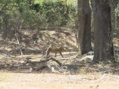 Leopardo indo caçar.