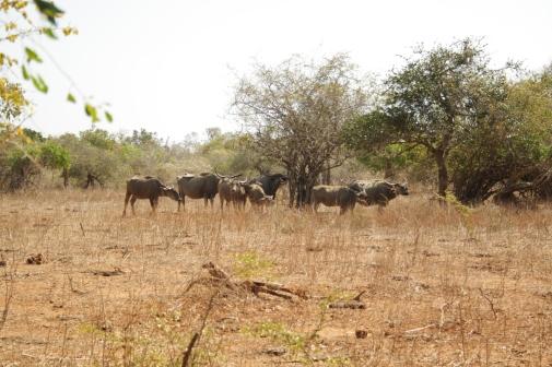 Búfalos em Yala.