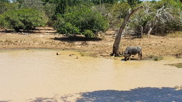 Búfalo bebendo água.