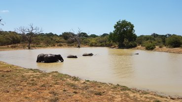 Elefantes no lago.