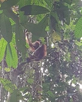 Orangotango selvagem by MDE